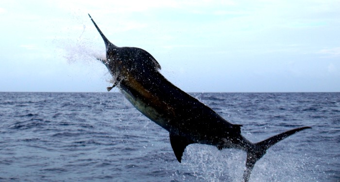 Blue Marlin a Virgin Island Sport Fish